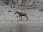 Ein Elch am Ufer
